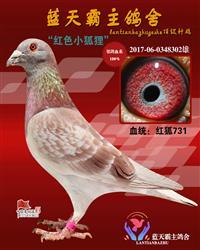 詹森红狐731种鸽