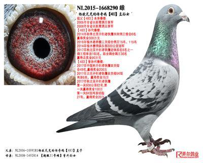 杨欧瓦克的传奇鸽【483】直孙女