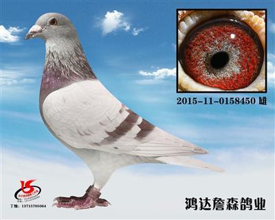 温州鸿达詹森鸽业展售鸽