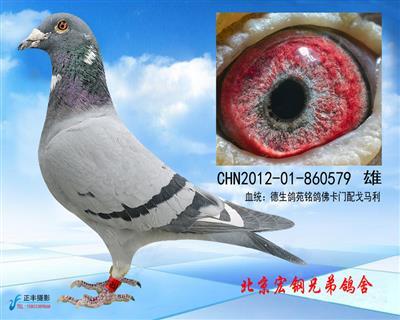 德生鸽苑特留种鸽
