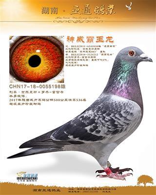2017年陕西威力赛鸽公棚决赛536名