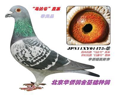 """胡英辉范内系名鸽""""马达号""""直系"""