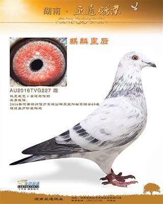 2016年郑州信力赛鸽公棚加站综合69名