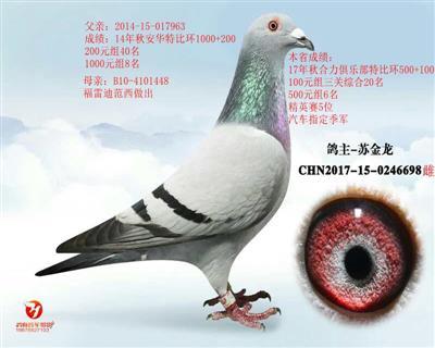 鸽王698