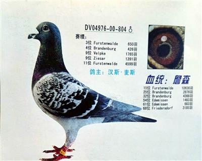 超级种鸽804