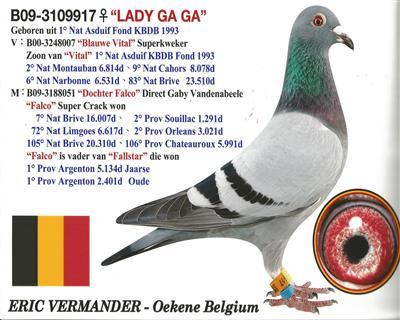 93年比利时KBDB长距离鸽王冠军孙女
