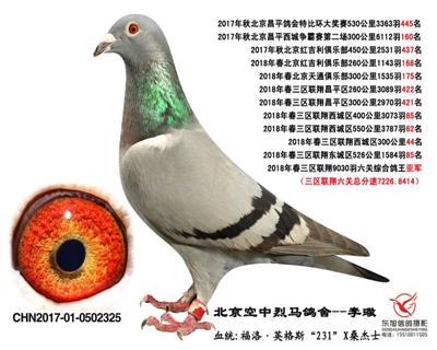 鸽王亚军325