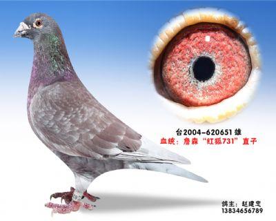 红狐731-特留种鸽-620651