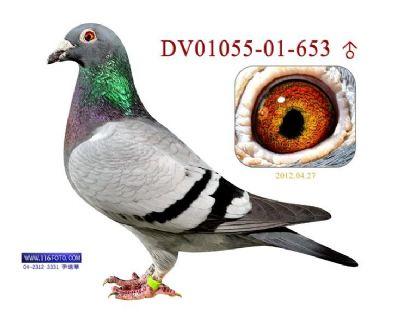 钻石级种鸽