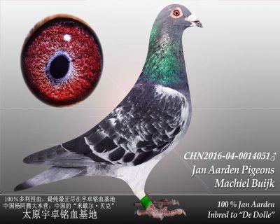 杨阿腾多利号6雄