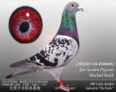 杨阿腾多利号8雄