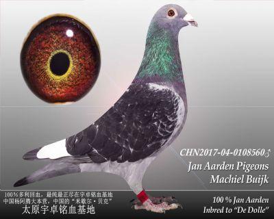 杨阿腾多利号12雄