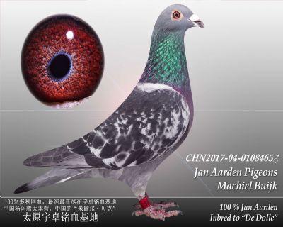 杨阿腾多利号15雄