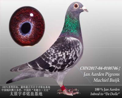 杨阿腾多利号16雄