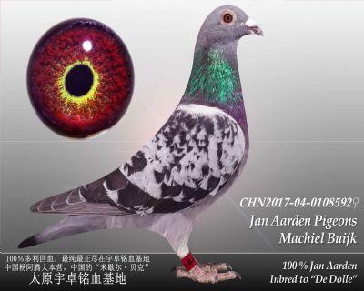 杨阿腾多利号20雌(已售)