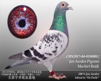杨阿腾多利号27雄