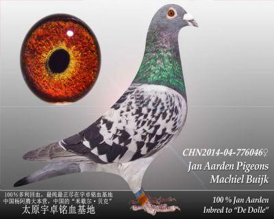 杨阿腾多利号31雌
