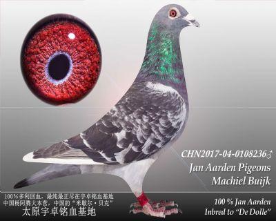 杨阿腾多利号32雄