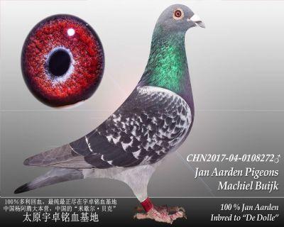 杨阿腾多利号33雄(已售)