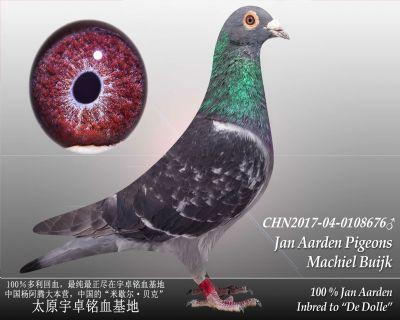 杨阿腾多利号36雄