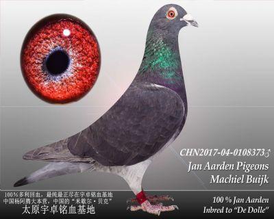 杨阿腾多利号38雄