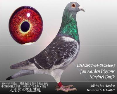 杨阿腾多利号43雄