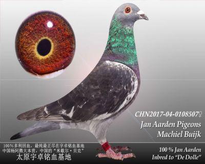 杨阿腾多利号49雌