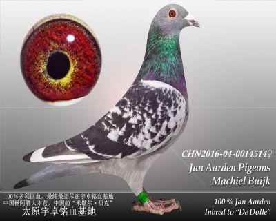 杨阿腾多利号52雌