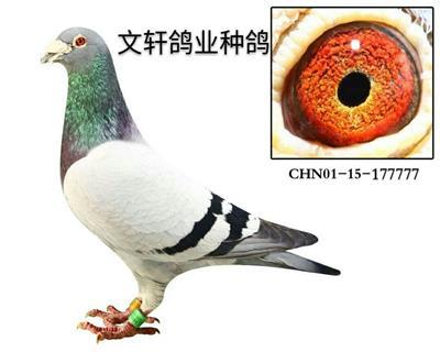 文轩鸽业种鸽