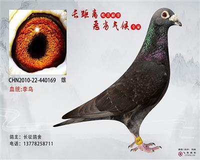 基础种鸽李鸟