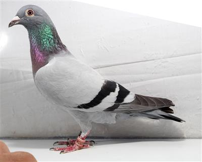 学习信鸽摄影如此简单,联系我。。。。。。