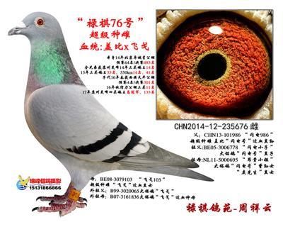 """芮娜飞戈:四关鸽王冠军之母""""禄祺76号"""""""