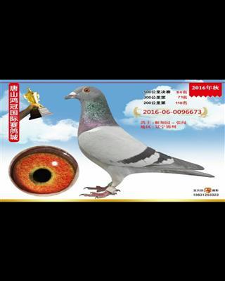 唐山鸿冠赛鸽