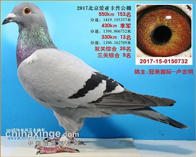 """17秋""""北京卡普""""鸽王(冠美金童直孙)"""