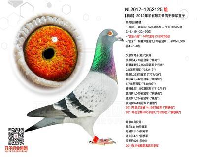 【莉莉】2012年半省短距离鸽王季军直子