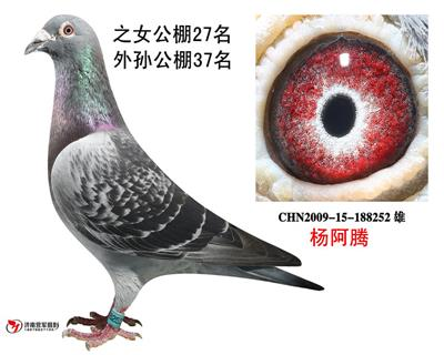 杨阿腾252