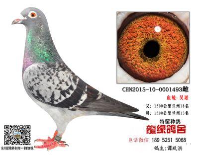 吴淞老国血种鸽2
