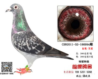 吴淞老国血种鸽3
