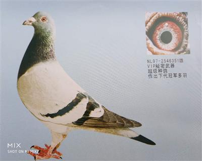 VIP351 原环种鸽