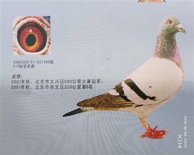 VIP365 冠军代表鸽