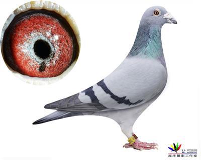 比利时国家幼鸽鸽王冠军博尔特004
