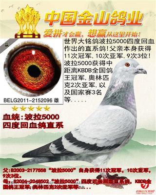"""比利时著名赛鸽家雷米狄梅""""波拉5000"""""""