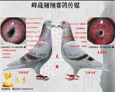 峰战翱翔鸽业