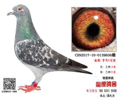 老国血超远程种鸽2