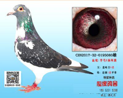 超远程老国血种鸽2