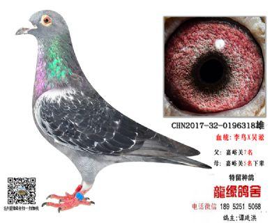 老国血超远程种鸽3