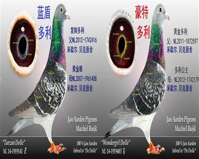 杨阿腾★幼鸽预定2000元一对》