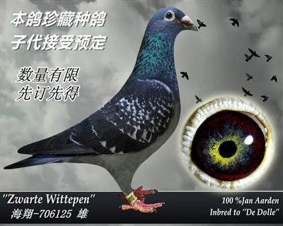 杨啊腾超级种鸽