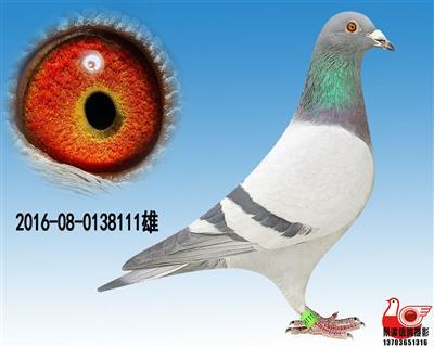 【凡龙】极品种雄111