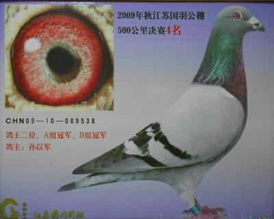 09年江苏国羽公棚双关鸽王亚军